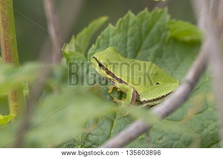 Young European Tree Frog (Hyla arborea) resting on a Leaf