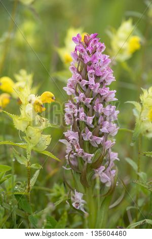 Early Marsh Orchid (Dactylorhiza incarnata) flowering between Little Yellow Rattle (Rhinanthus minor) in a Dune Valley