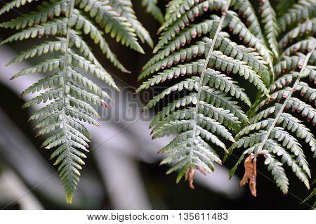Green fern fronds growing in the garden