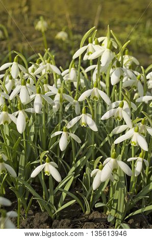 Snowdrops. Forest full of snowdrop flowers in spring season. Delicate snowdrop flower