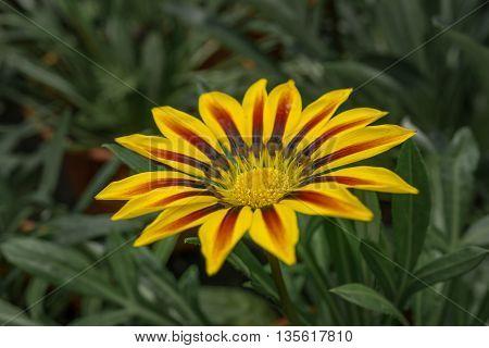 Beautiful Yellow Gazania Flower Blooming in Garden
