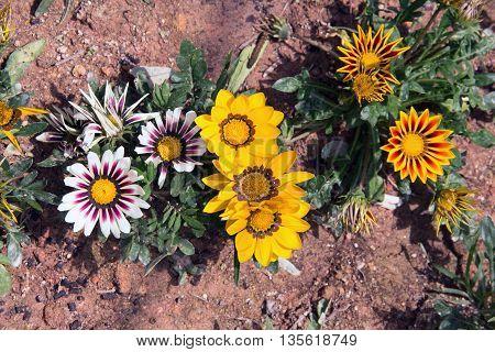 Colourful small Sun Flower in the garden