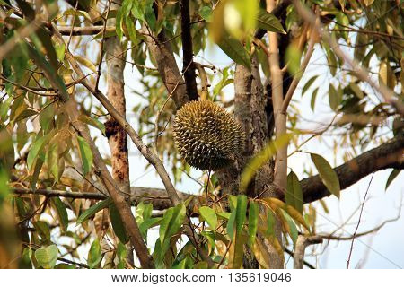 Delicious durian on tree in orchard .