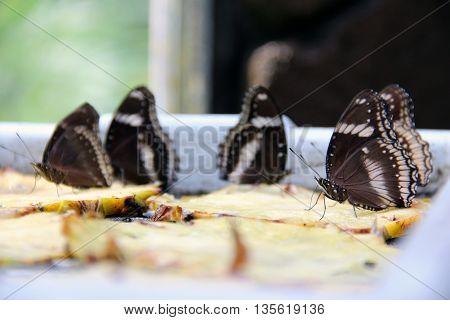 beautiful Butterflies eating from rotten pineapple fruits