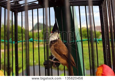 Beautiful Bird Hanging In a Steel Cage