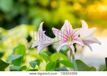 White Pink amaryllis flower in Nature background