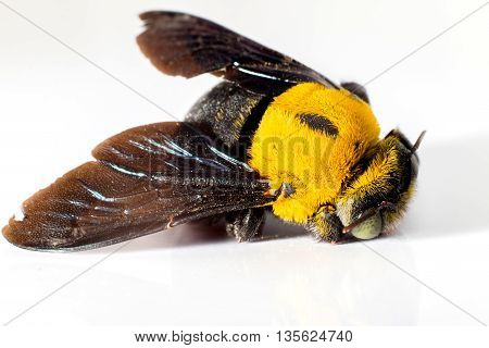 Close up Bumblebee dead on white background