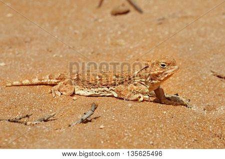 Lizard in the sand in the desert.