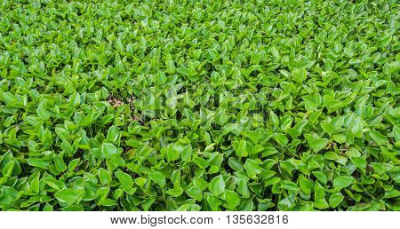 image of water hyacinth floating on water day time.