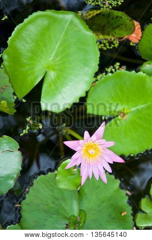 A blooming lotus flower of pink color over green leafs on background