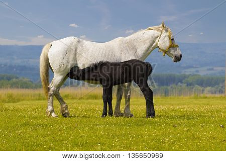 White Mother horse nurse black foal on the floral meadow