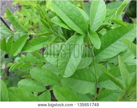 Liquorice, Glycyrrhiza glabra, in spring in garden