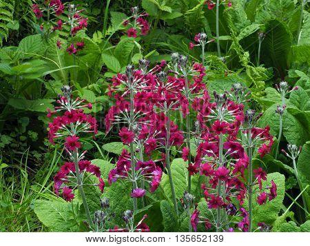 Candelabra primrose in wetland garden in spring season