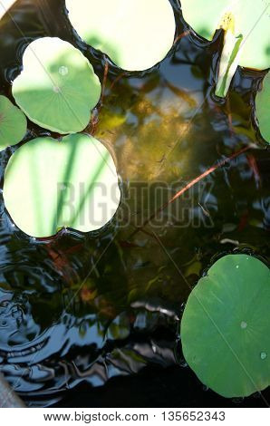 Drop of water on lotus leaf in the pond and young Guppy