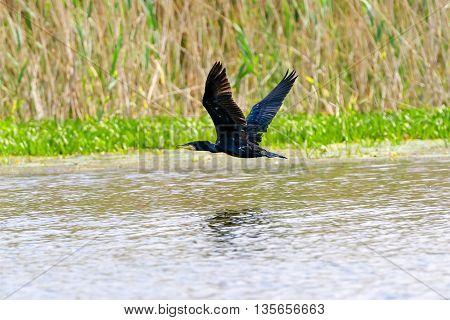 Cormorant (phalacrocorax carbo ) in flight. Location: Danube Delta Romania