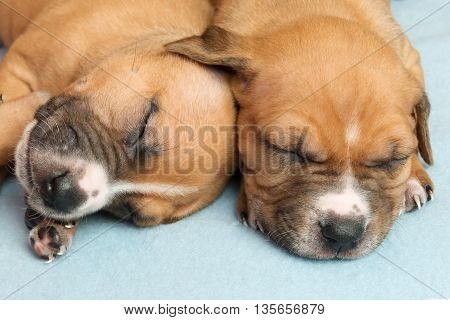 Picture of Cute amstaff puppy. One month old