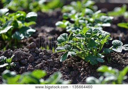 Young potato plant growing on the soil.Potato bush in the garden. Healthy young potato plant in organic garden.