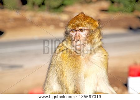 Bush Monkey In Africa Morocco And Natural Background Fauna Close Up