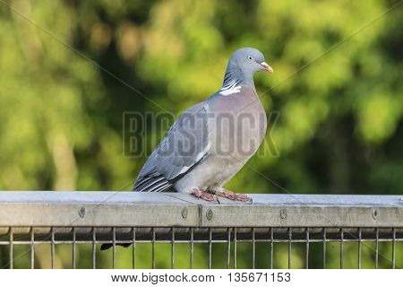 Wood pigeon resting on a metal fence