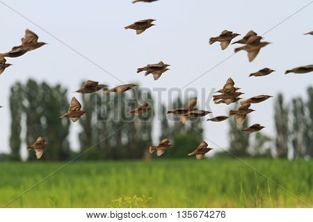 a flock of starlings flying over on the field against a background of trees, summer, young birds