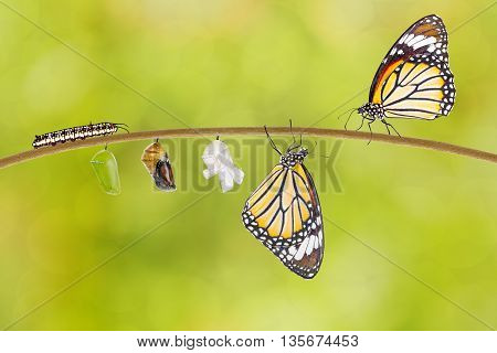Transformation of common tiger butterfly emerging from cocoon on twig