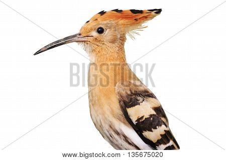 Portrait of a young hoopoe , unusual bird feathers piebald color isolated on white
