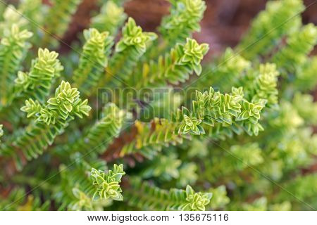 Soft focus of Hebe Green Globe plants, known as Shrubby Veronica in the garden, summer in Austria, Europe