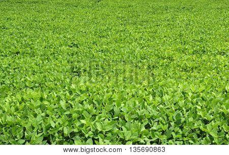 Fresh green soybean field in summer as background