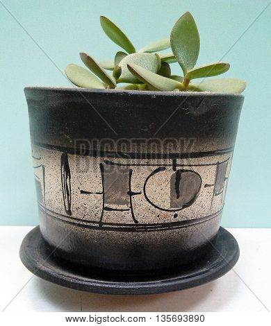 Indoor jade plant in a pot on a light background