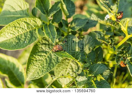 Colorado Potato Beetle, Leptinotarsa Decemlineata, Colorado Beetle, Ten-striped Spearman, Ten-lined