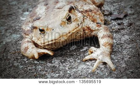 big frog toad on gray stone background