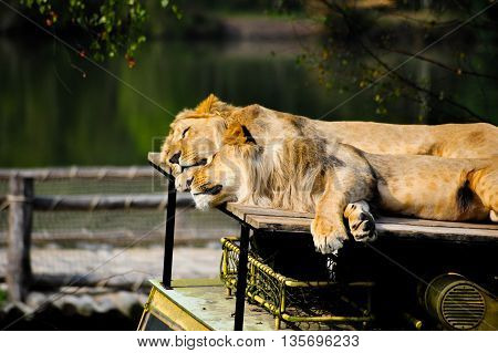 Male adult lions sleeping on top of a parked safari car in a safari park
