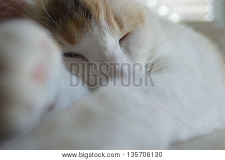 White Sleeping Calico Cat with Paws and Blue Eyes