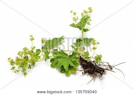 Common cuff on a white background. Medicinal plant