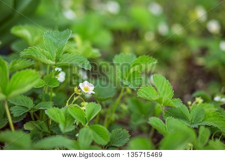 Strawberry Plant Blooming On The Stem