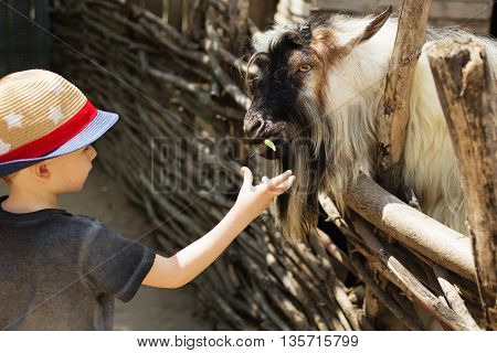 A Billy Goat Eating Out Of The Hand Of A Young Boy.