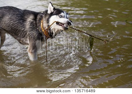 Siberian Husky playing with a stick in the water. Siberian Husky frolics in the river. The dog bathes in the cool water of the river.