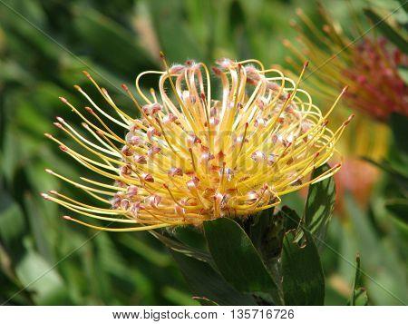 Protea, Kirstenbosch Botanical Gardens, Cape Town South Africa 82
