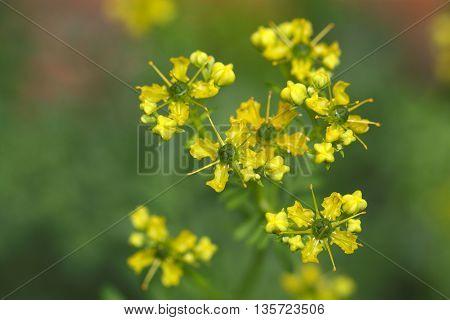 Flower of a common rue plant (Ruta graveolens).