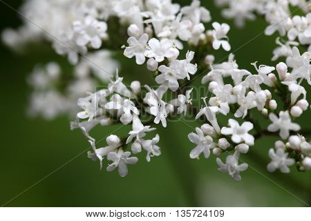 A macro photo of valerian (Valeriana officinalis) flowers.