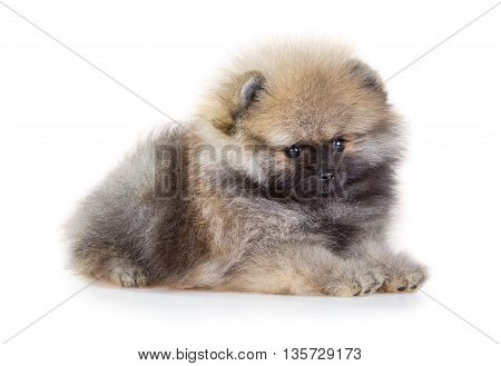 Portrait of a Pomeranian puppy age of 2 month isolated on white