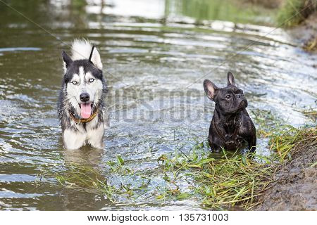 Siberian Husky and French Bulldog are playing in the river. Dogs frolic in warm water of the river.