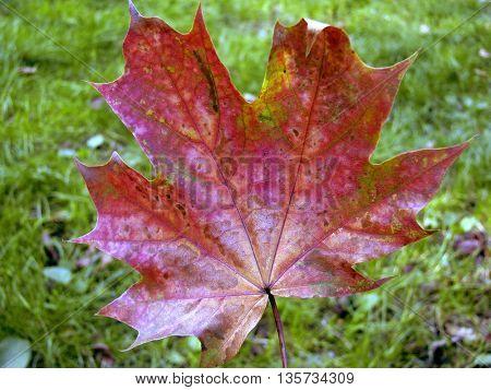 red autumn lamina