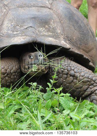 Galapagos, Galapagos giant tortoise, tortoise, galapagos turtle, giant turtle