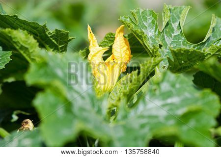 Marrow vegetable (Cucurbita pepo) flower and leaves. Yellow flower bud of cultivated plant opening with green foliage