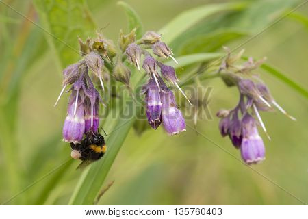 Common Comfrey (Symphytum officinale) flowering and visited by a Buff-tailed Bumblebee (Bombus terristris)