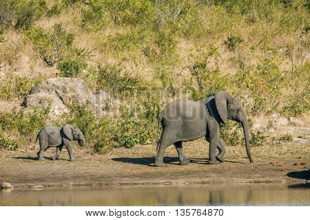 mother and baby african bush elephant walking in the riverbank