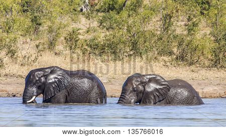 two wild african bush elephants playing in the river, in Kruger park