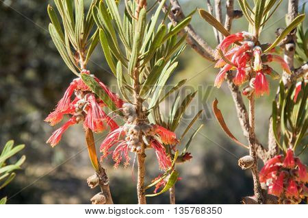 Red Murchison Claw wildflower in the native bushland of Kalbarri National Park in Western Australia.