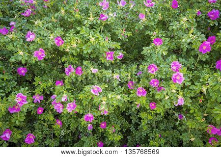 Dogrose bushes blooming in the backyard of a private home